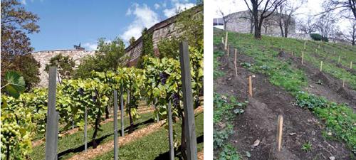 Balra: szőlőtőkék a jövőből; jobbra: 2010 ősze, a telepítés befejeződött