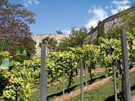 A történelmi szőlőskert a Budai vár oldalában
